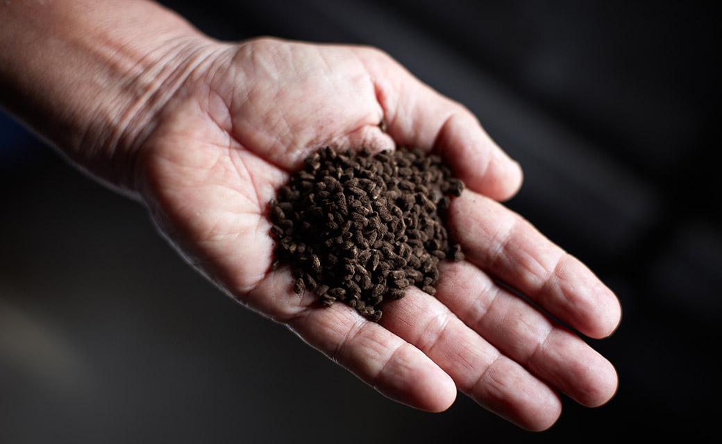 泡盛の味を決定付ける要素のひとつ黒麹。