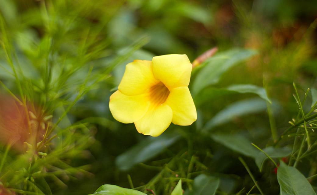 リゾート内のいたるところで出会えるアラマンダの花。